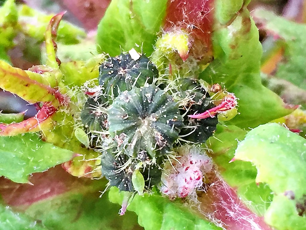 最初は毛だらけのカボチャのようなオニノゲシの花