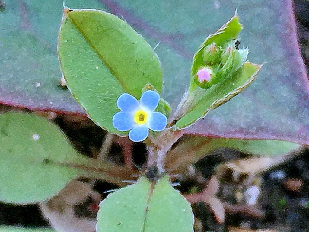 薄青色の花弁に黄色の副冠、のキュウリグサ