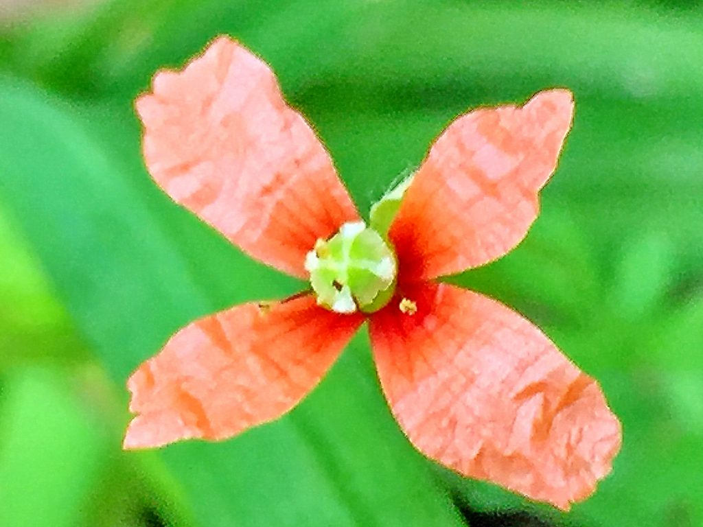 ナガミヒナゲシ、高さも低く花弁が細長く花頭の数も雄しべの数も少ない個体