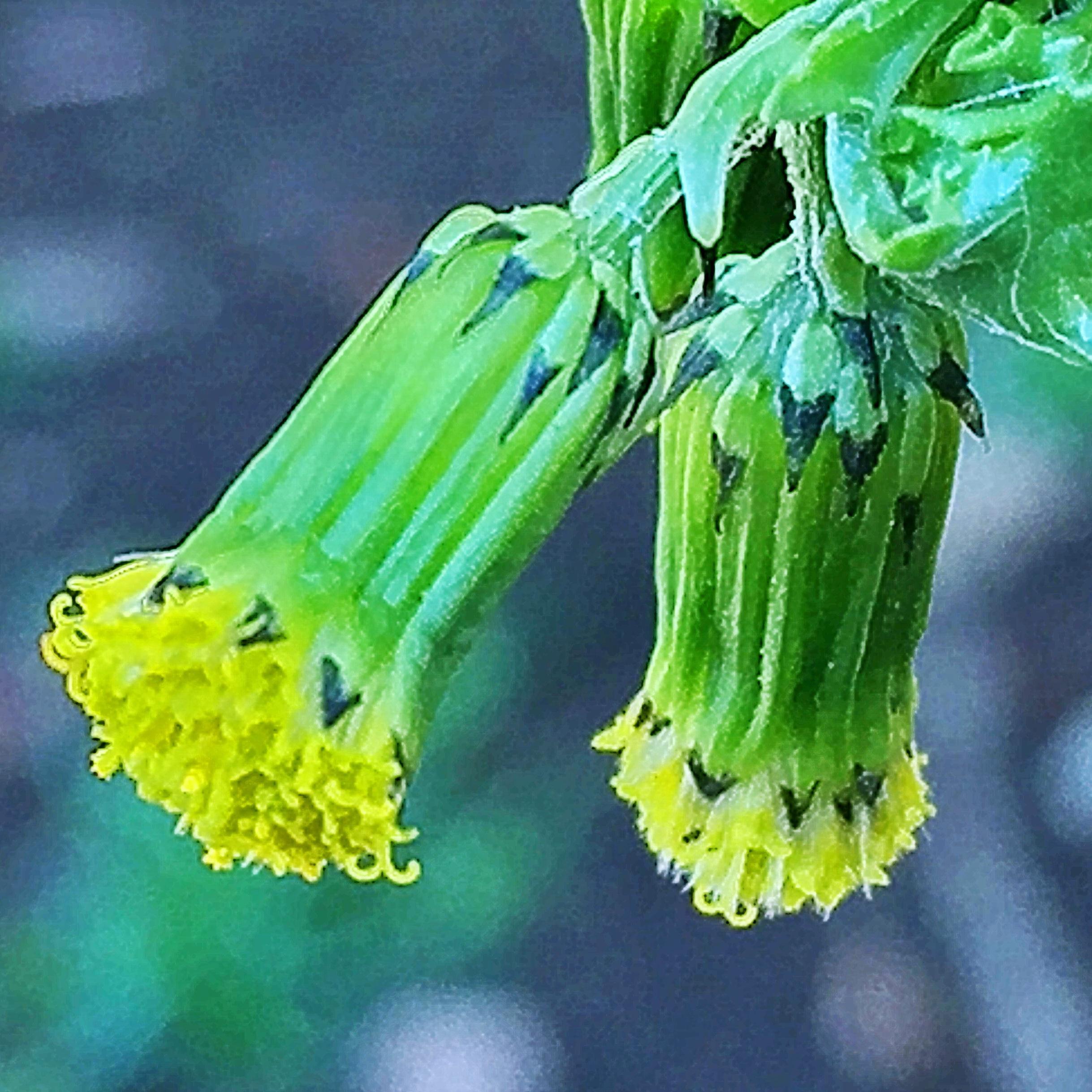 ノボロギク(野襤褸菊)