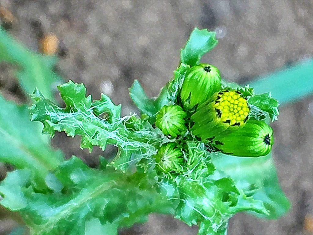 ノボロギク(野襤褸菊)蜘蛛の巣のような毛