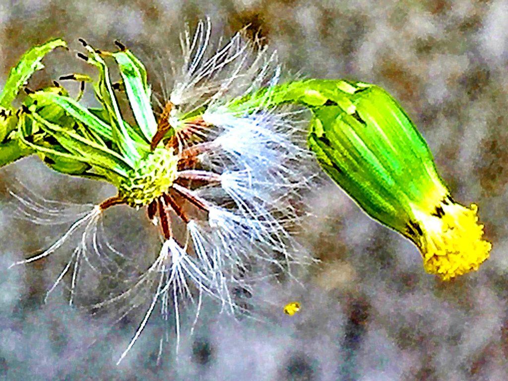 ノボロギク(野襤褸菊)の果実