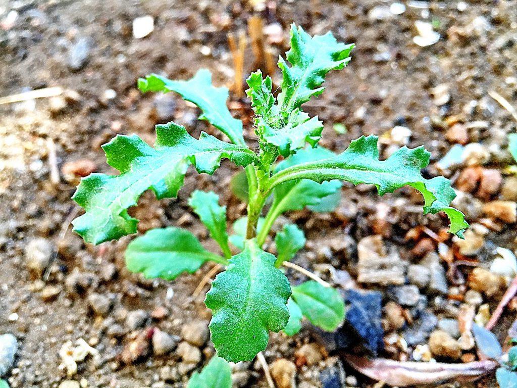 ノボロギク(野襤褸菊)出始めの葉