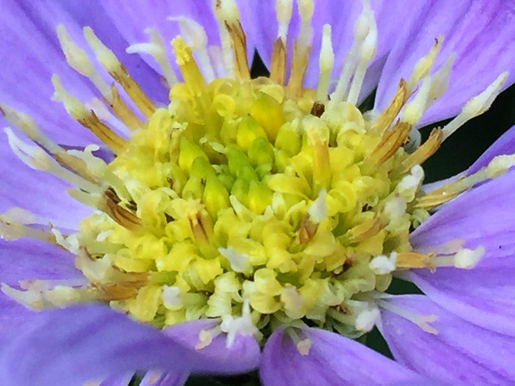 黄色い管状花の周りを舌状花が一列に並んでいるミヤコワスレ