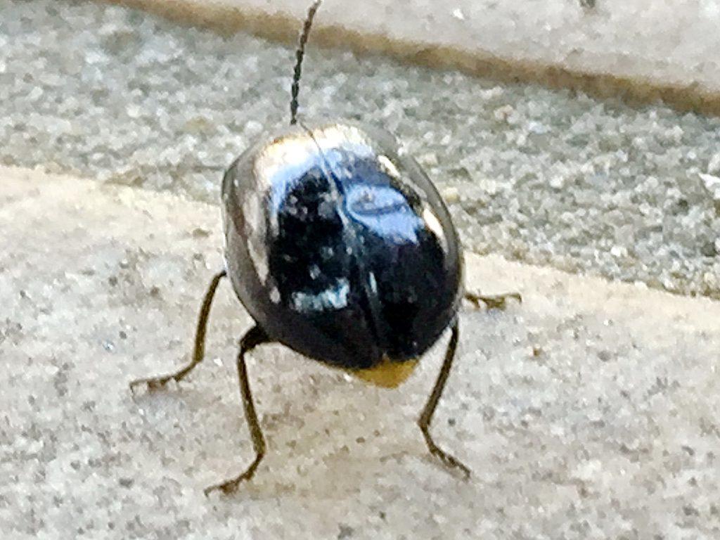 ピカピカ黒く光る翅、脚の付け根の胸部は黒色、腹部の後ろ半分が黄色のイチモンジハムシ