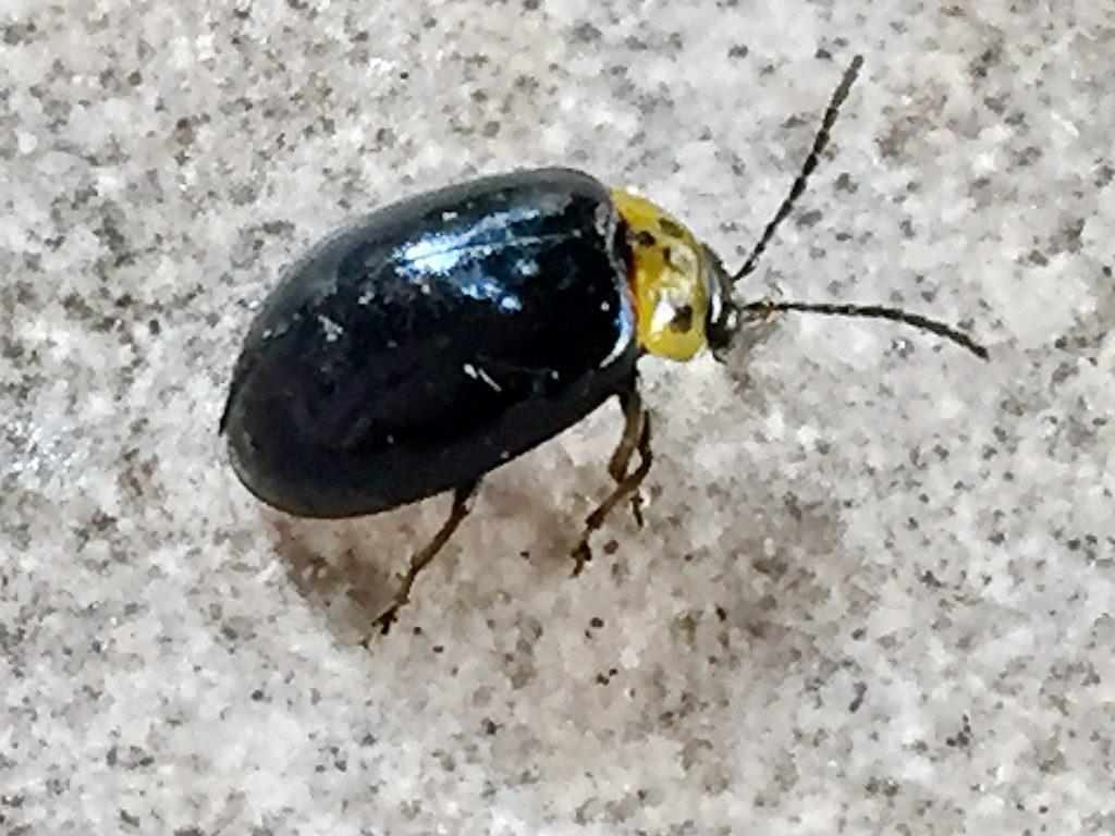 脚の付け根の胸部は黒色、腹部の後ろ半分が黄色のイチモンジハムシ