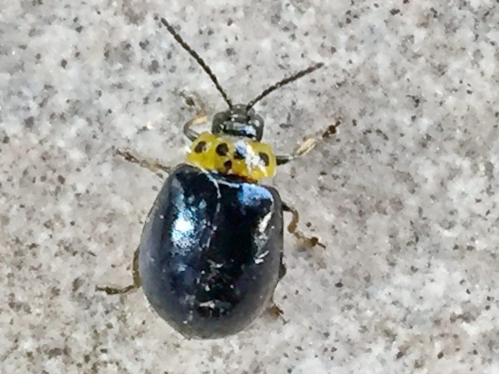 黄色の地に黒色紋が4個並ぶ前胸部の模様が特徴的なイチモンジハムシ