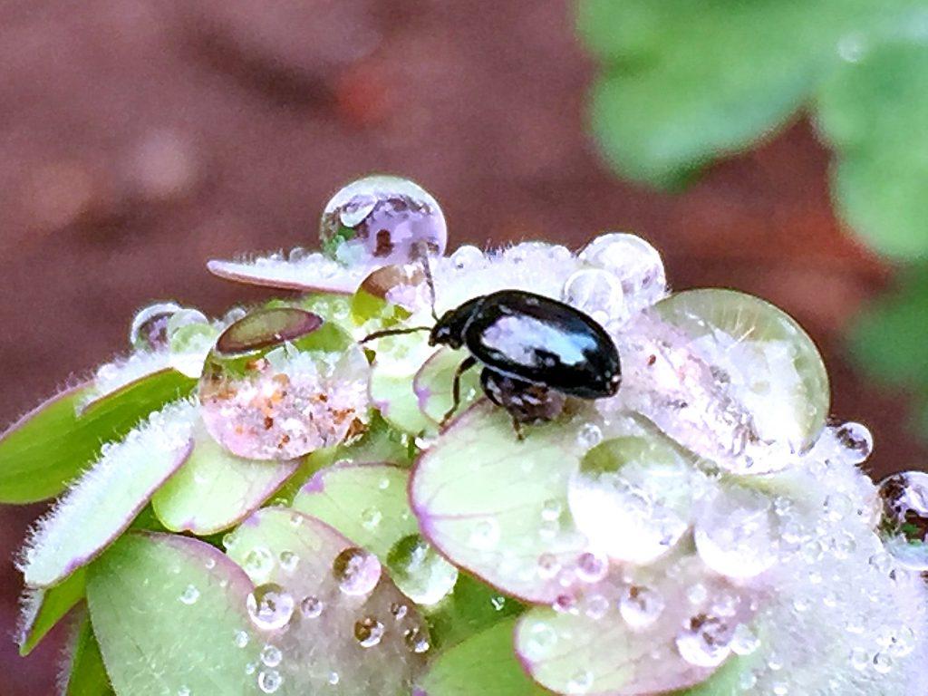 雨の後、オダマキの葉に来たルリマルミノハムシ