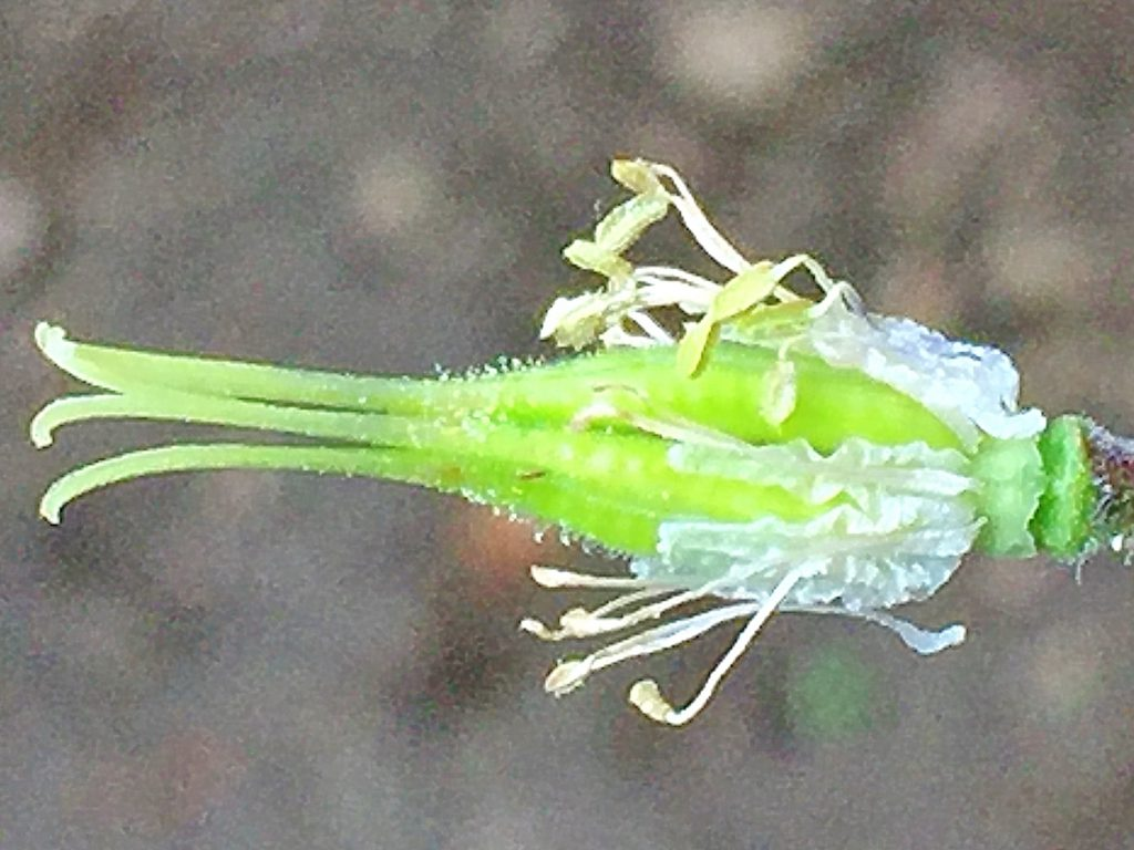 花弁が散って緑色の子房が膨らんできたオダマキ