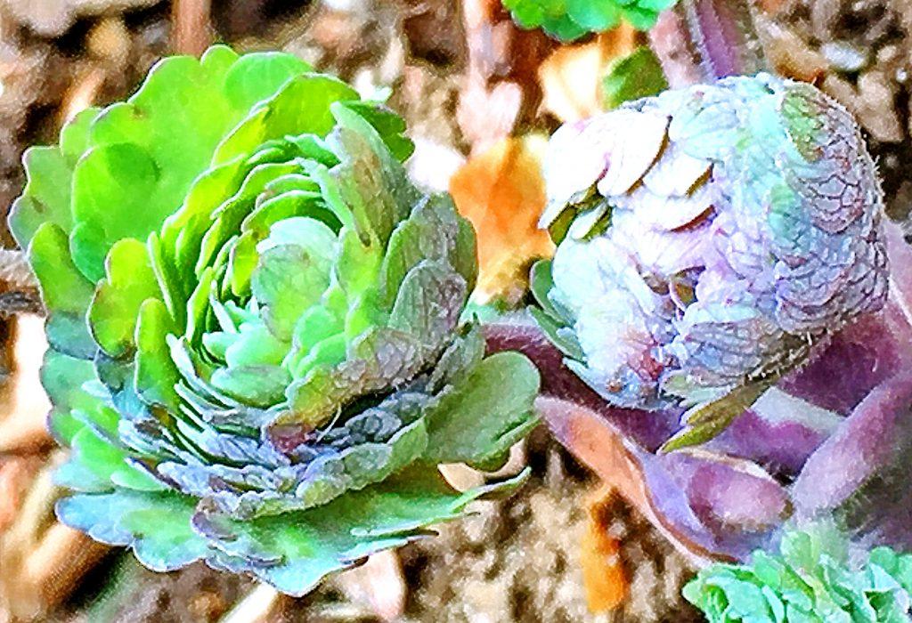 2月、オダマキが葉を出しました。長い茎に2回3出複葉になります