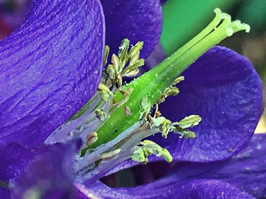 緑色の子房に葯が破れて花粉があふれているオダマキ