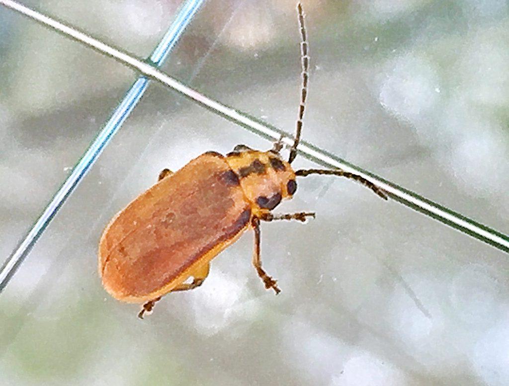 赤みのある褐色で全体に黄白色の細かい毛があるサンゴジュハムシ