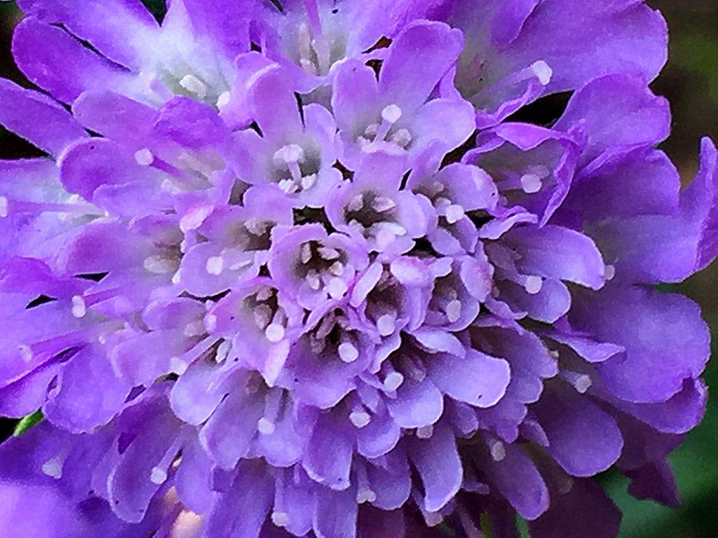 スカビオサ(西洋松虫草)は中央は小さな筒状花、外側は花弁が長く伸びています。