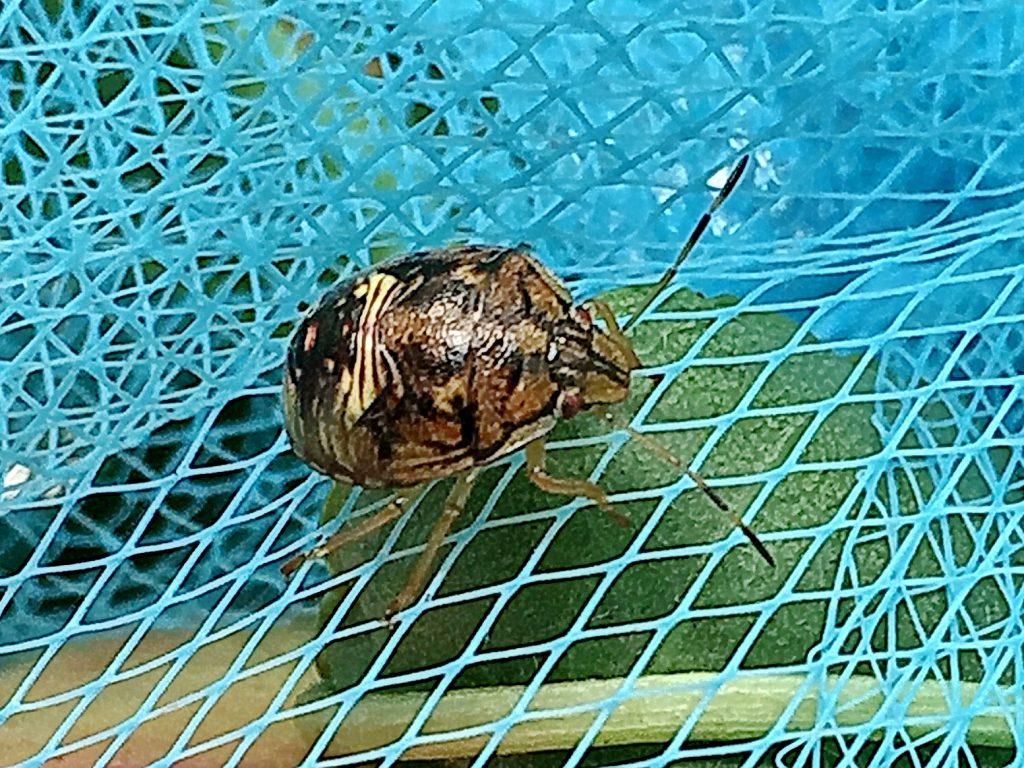 まだ黒っぽいチャバネアオカメムシの幼虫