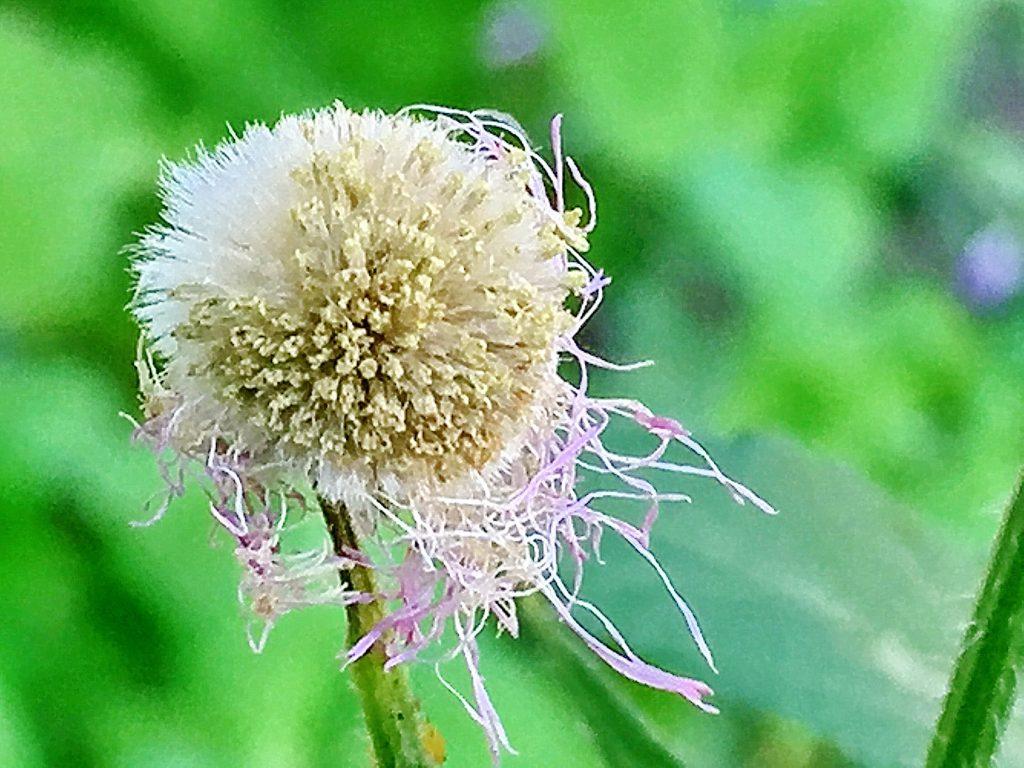 ハルジオンの舌状花の冠毛は約2mm、筒状花の冠毛は約2.5mm