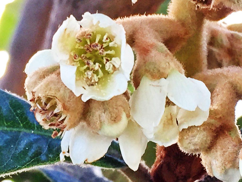 白い花弁が5枚、花柱は5裂していて沢山の雄しべがあるビワの花