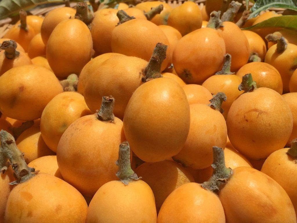 今年も美味しいビワの実が沢山、実りました