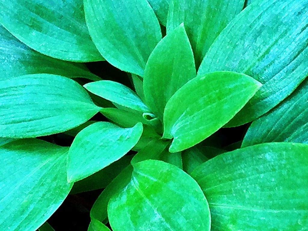 付け根で反転するアルストロメリアの葉