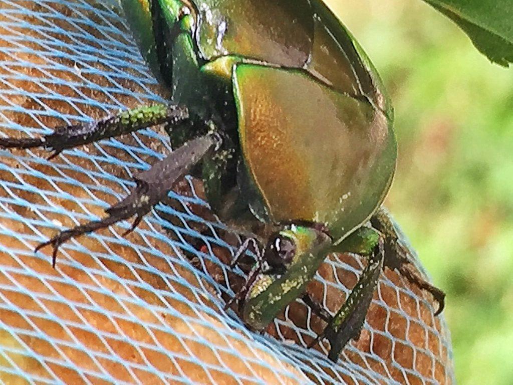 網の外からモモに食い付いたカナブン