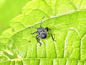 クサギカメムシの2齢幼虫