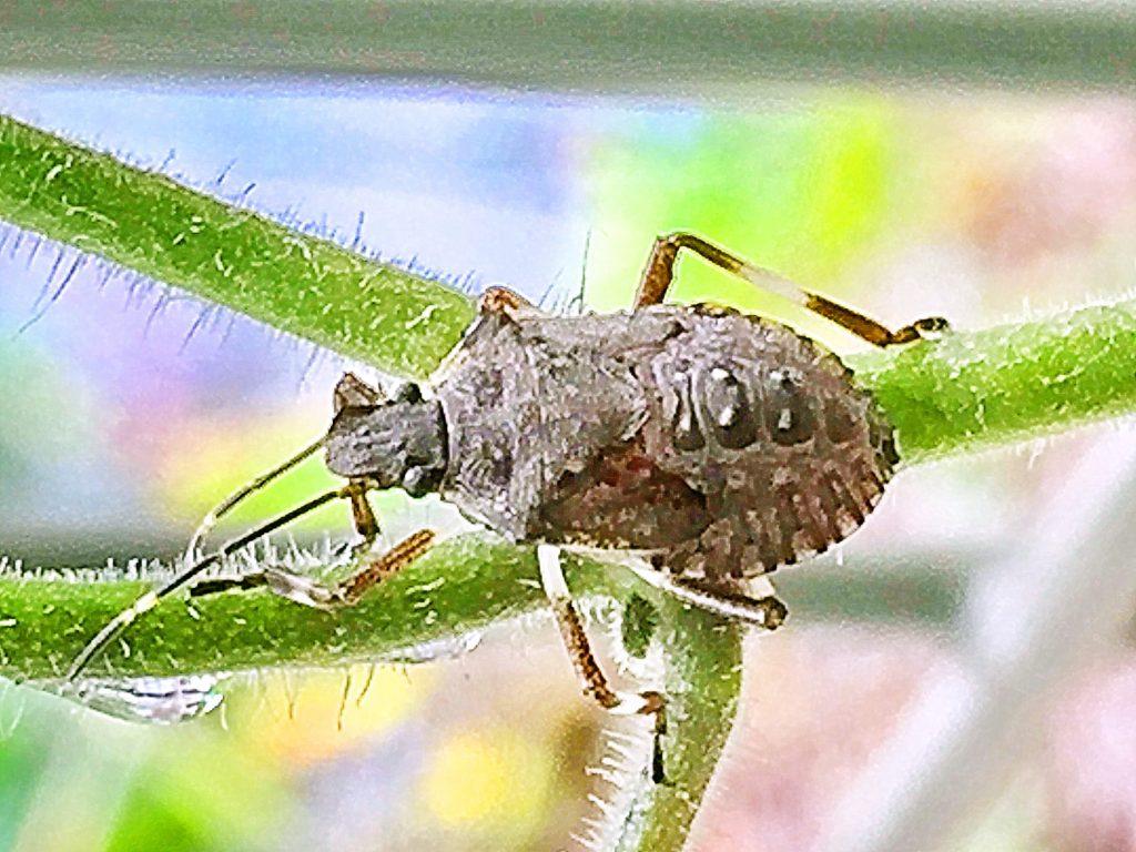 クサギカメムシの5齢幼虫