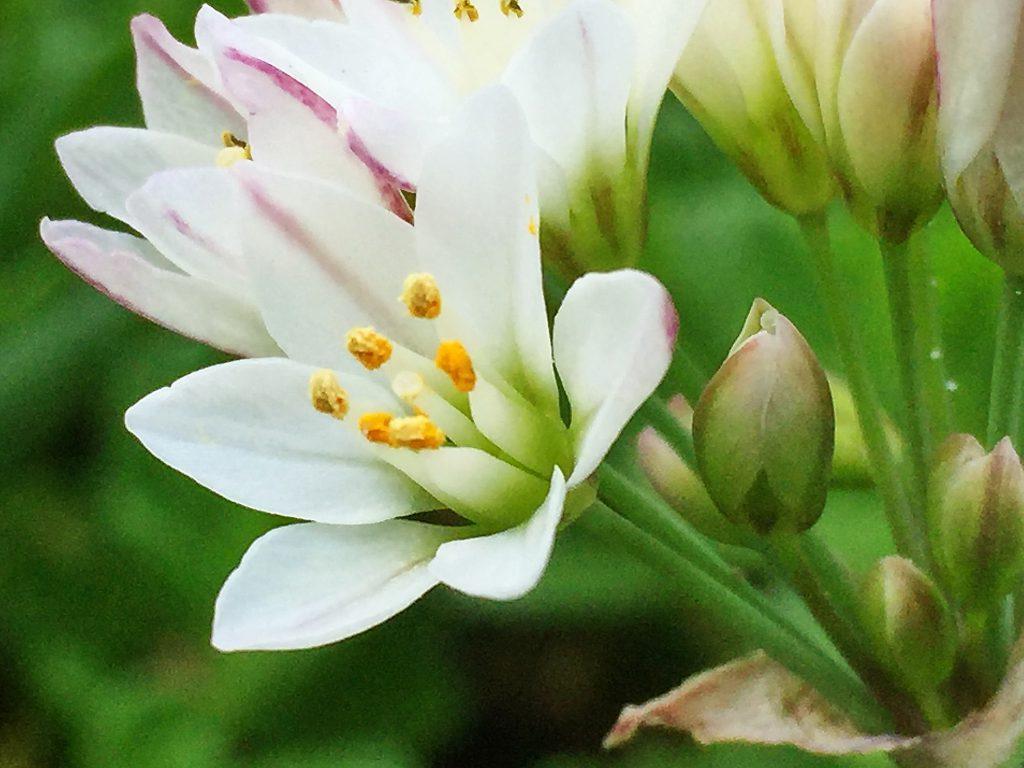 ハタケニラの花弁の外側には赤褐色の筋紋があり、基部が黄緑色を帯びています