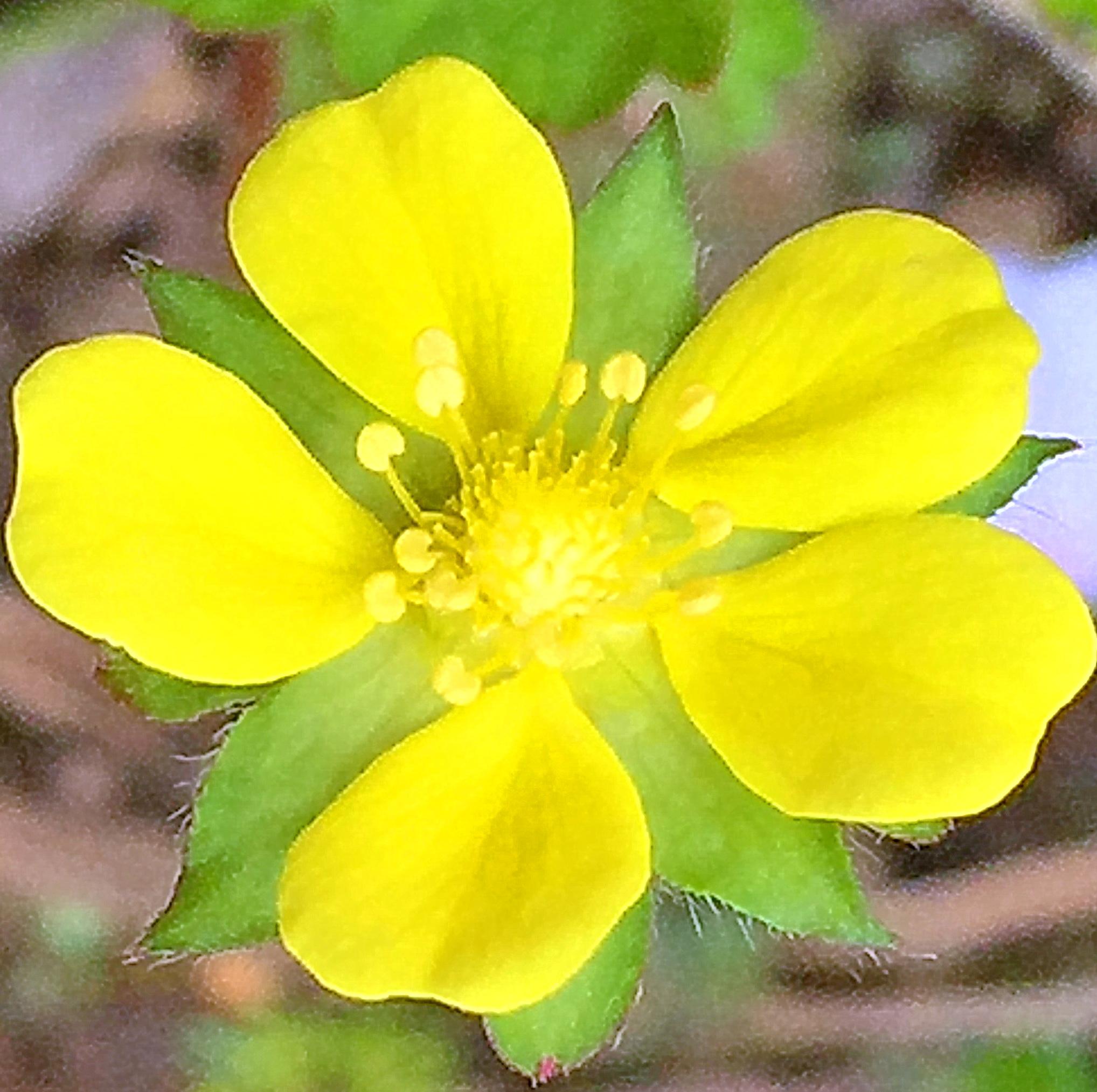 ヘビイチゴの花