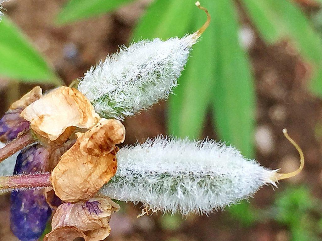 筒型で毛が沢山生えているルピナスの果実