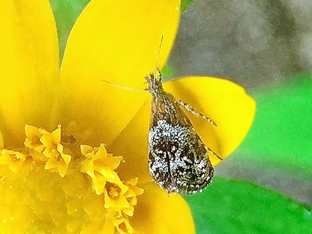 鱗粉がきらきらと小さいながら目立つゴボウハマキモドキ