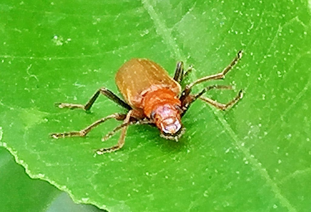 セボシジョウカイは全体的に柔らかい(軟鞘類)です。