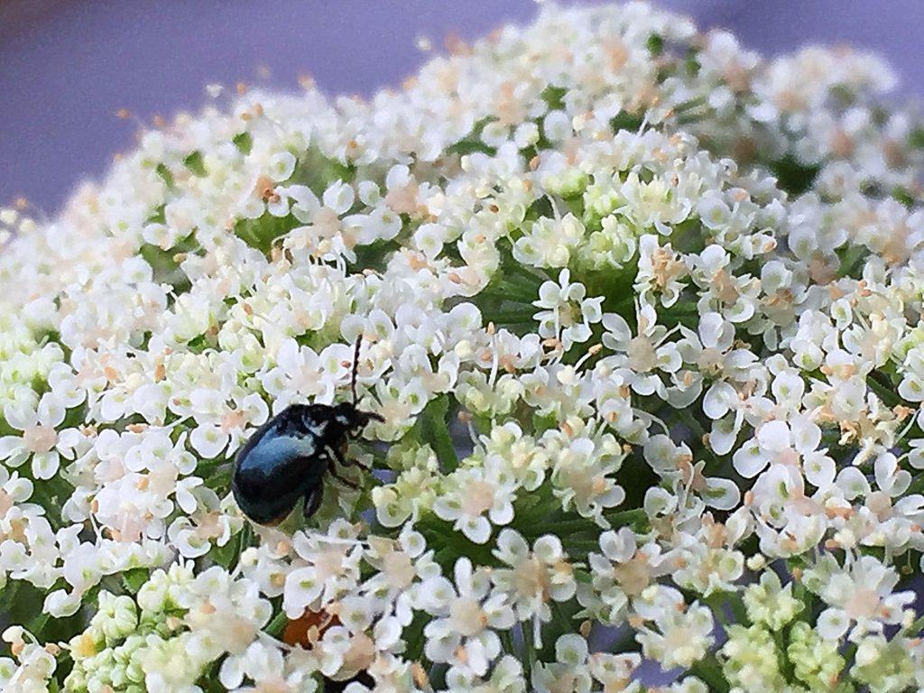 ニンジンの花にルリマルノミハムシ