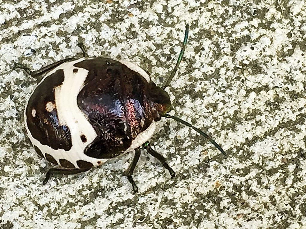 アカスジキンカメムシ(赤条金亀虫)の終齢幼虫