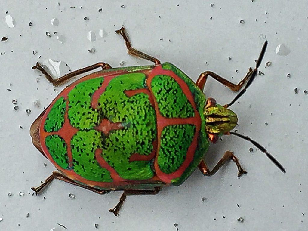 アカスジキンカメムシ(赤条金亀虫)動く宝石