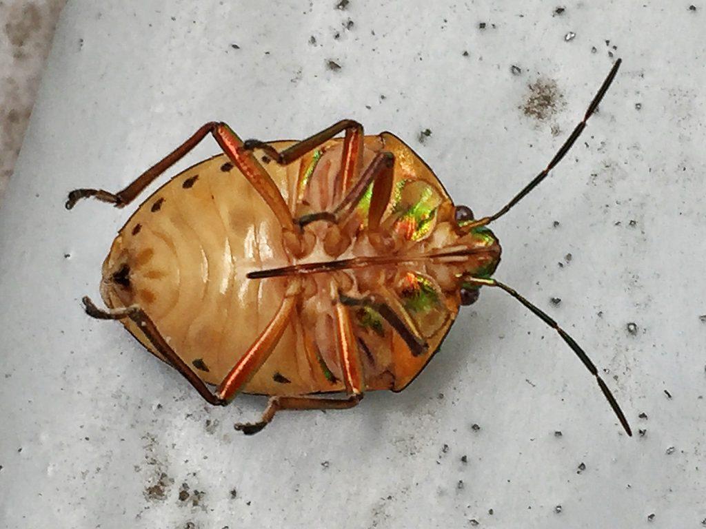 ひっくり返ったアカスジキンカメムシ(赤条金亀虫)