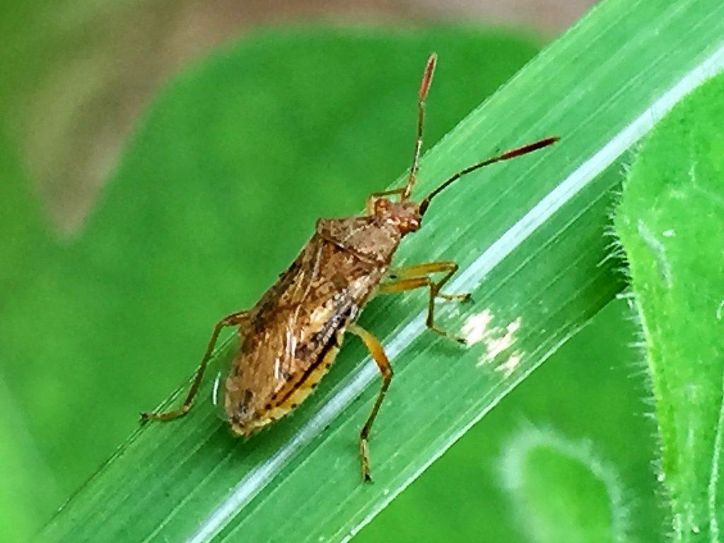 光沢のある茶褐色で体中に毛が生え、触角は4節のアカヒメヘリカメムシ