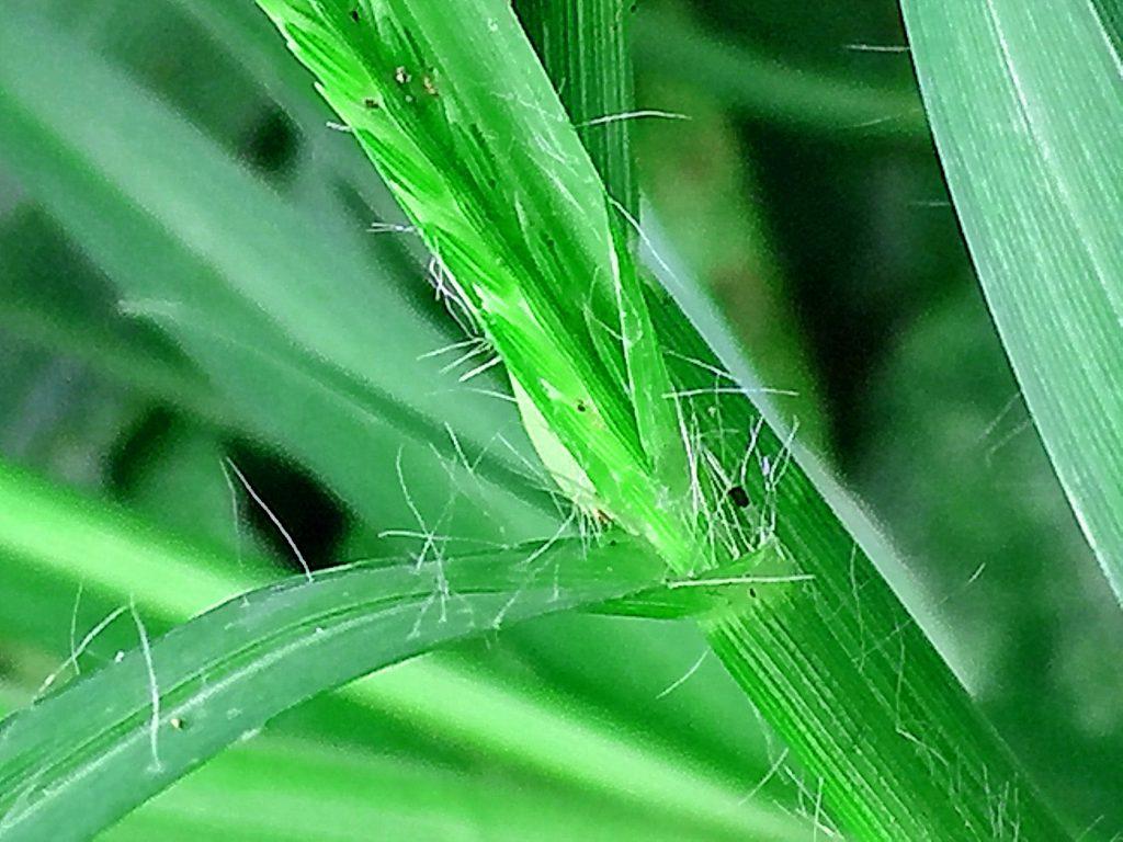 オヒシバの葉と葉鞘の境目は白く肥大し、葉鞘はV字になっていて白い毛が生えています