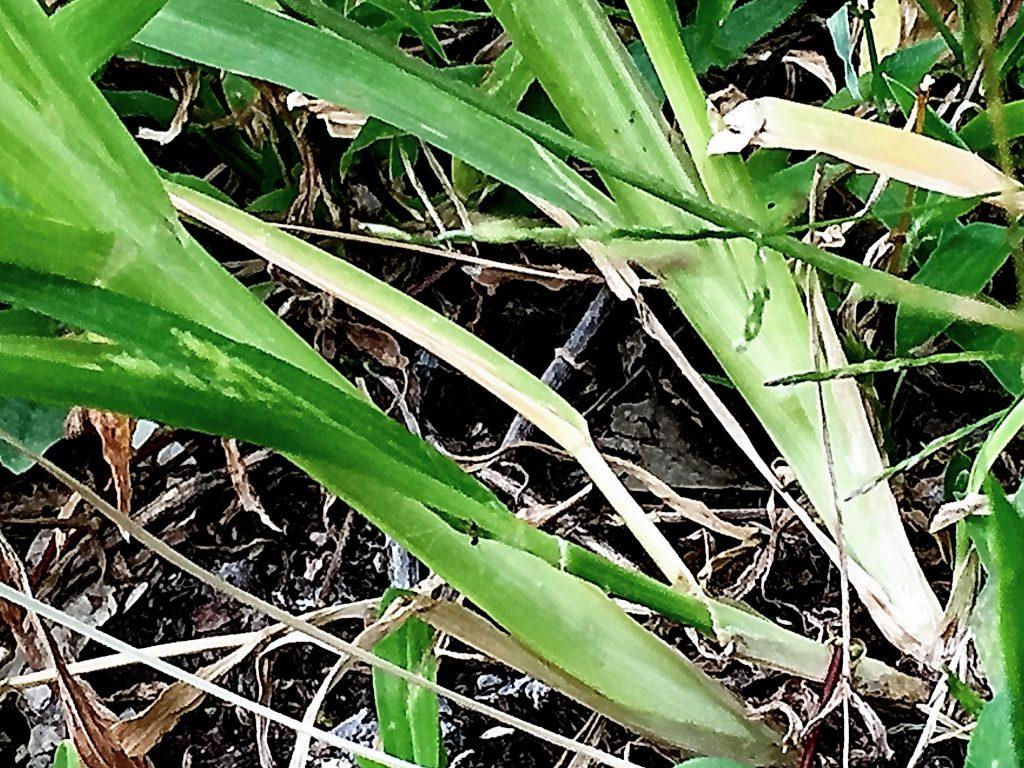 オヒシバは踏まれても茎は扁平で根と茎の境目から倒れてまた立ち上立ち上がります