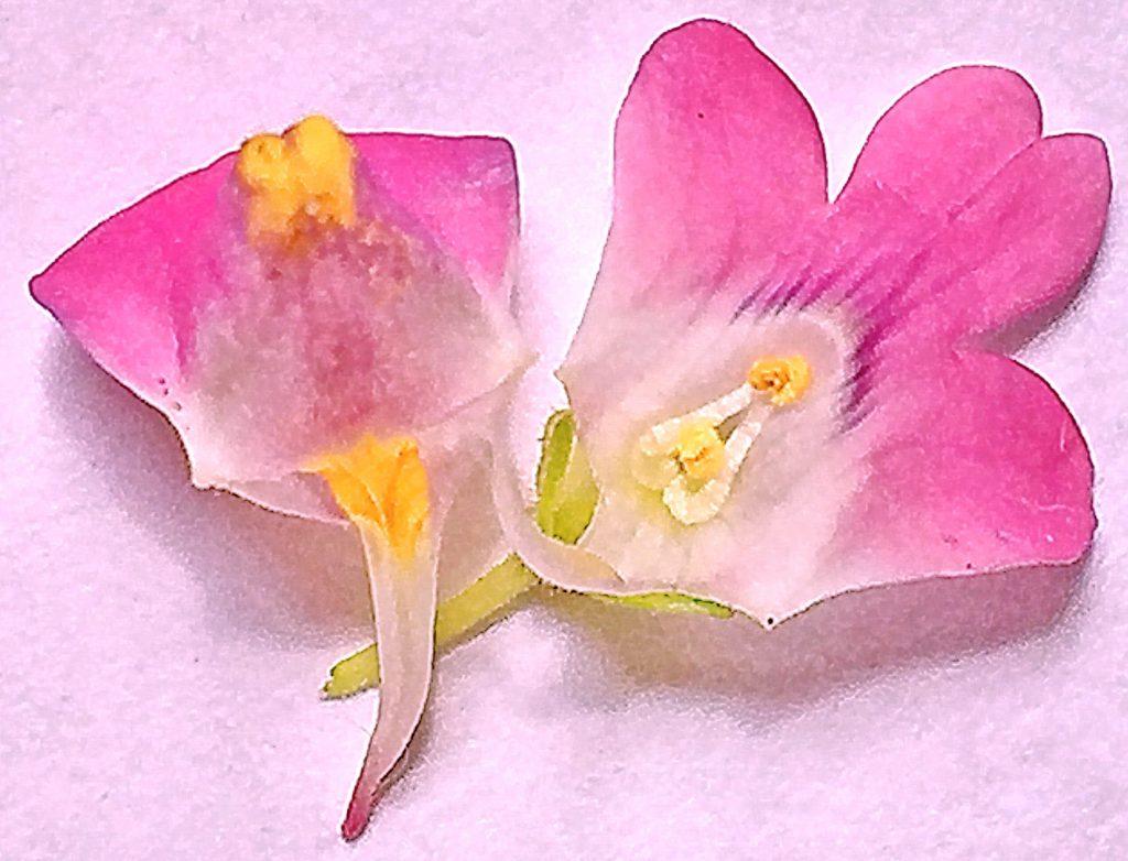 宿根ネメシアの花の中は雄しべが面白い形