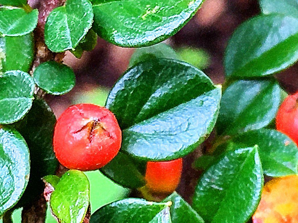 ベニシタン(紅紫檀)の果実、赤と緑が映えます