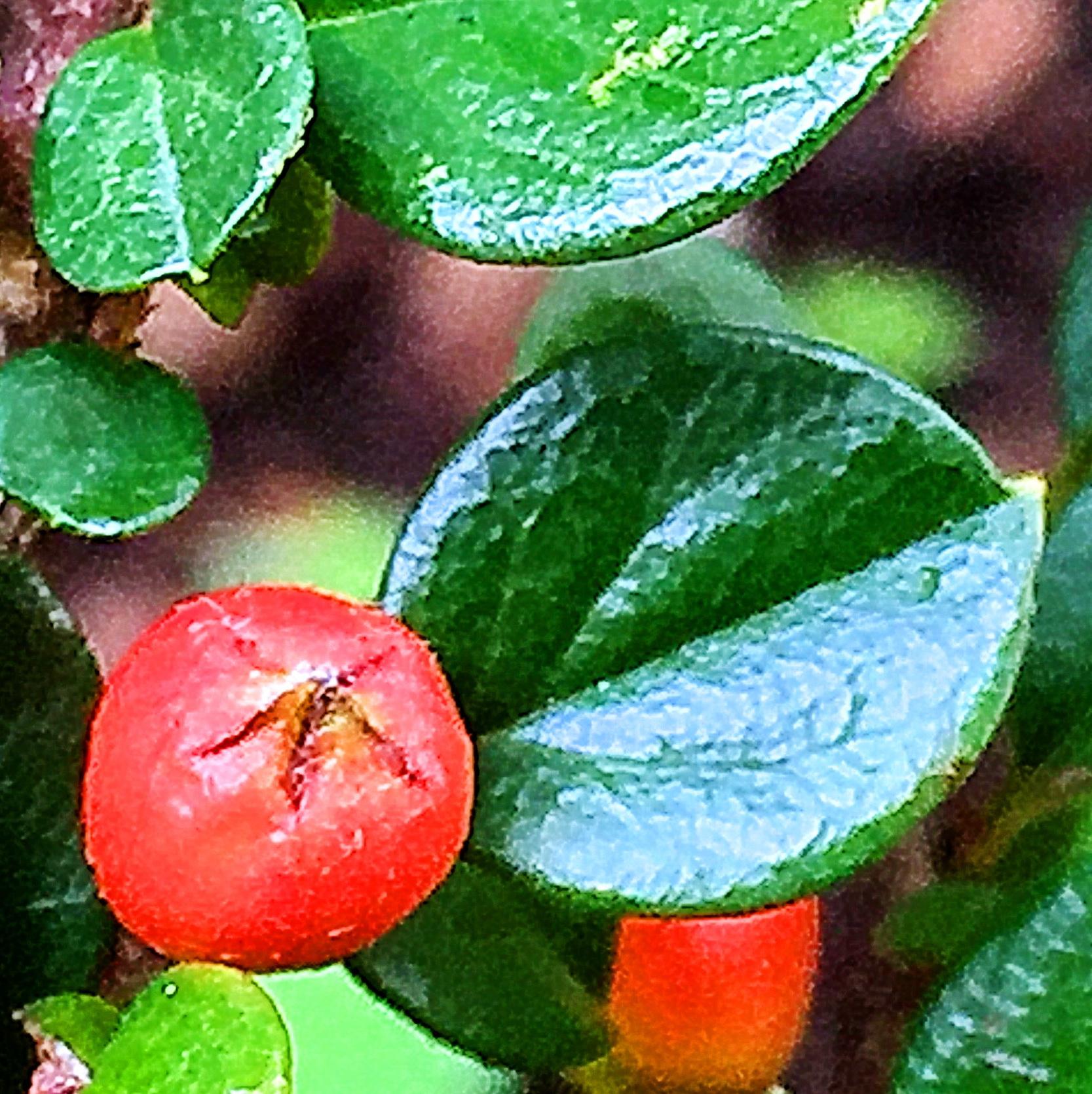 ベニシタン(紅紫檀)の果実