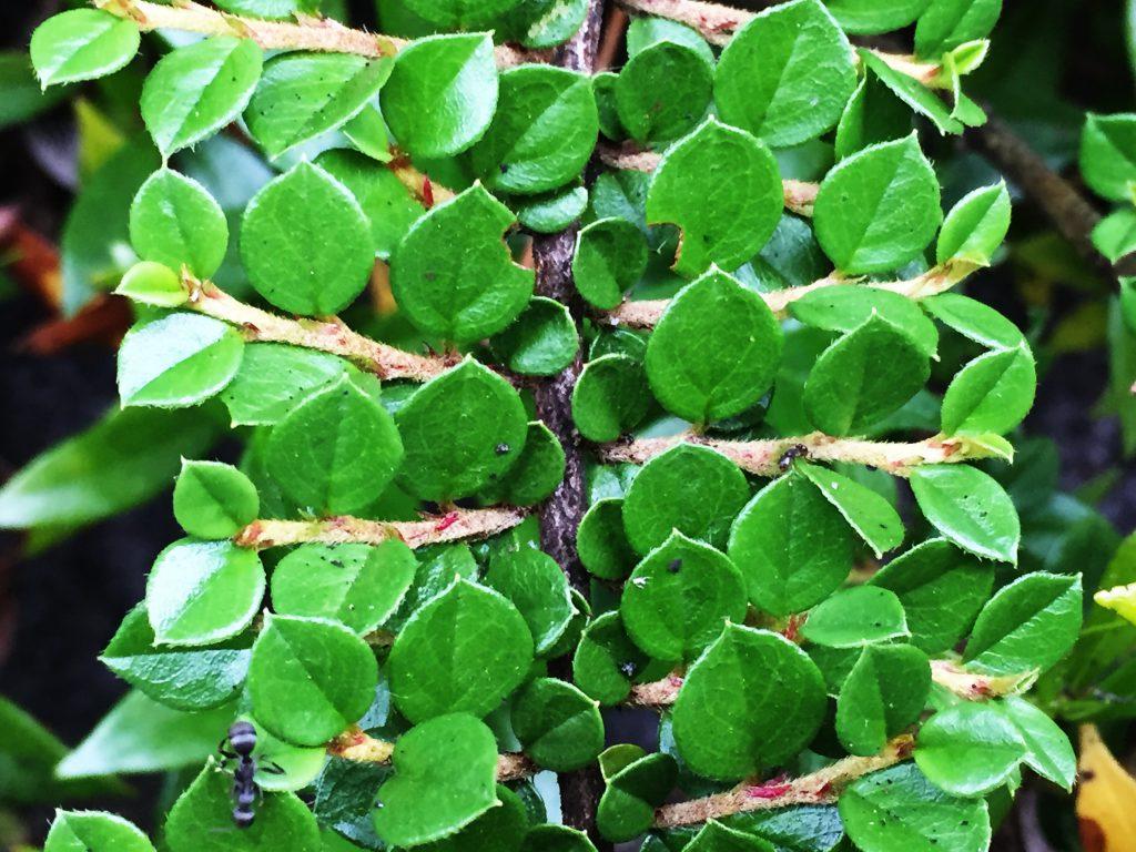 ベニシタン(紅紫檀)綺麗に並んだ葉