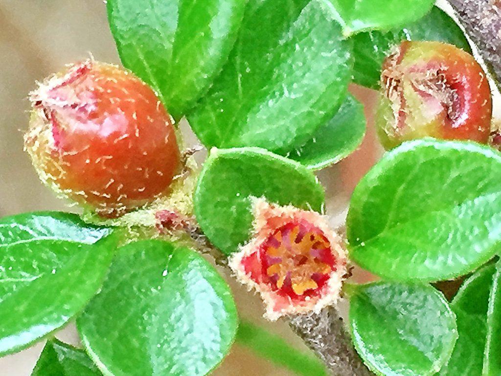 これから萼が閉じる花と、完全に閉じて果実になったベニシタン(紅紫檀)
