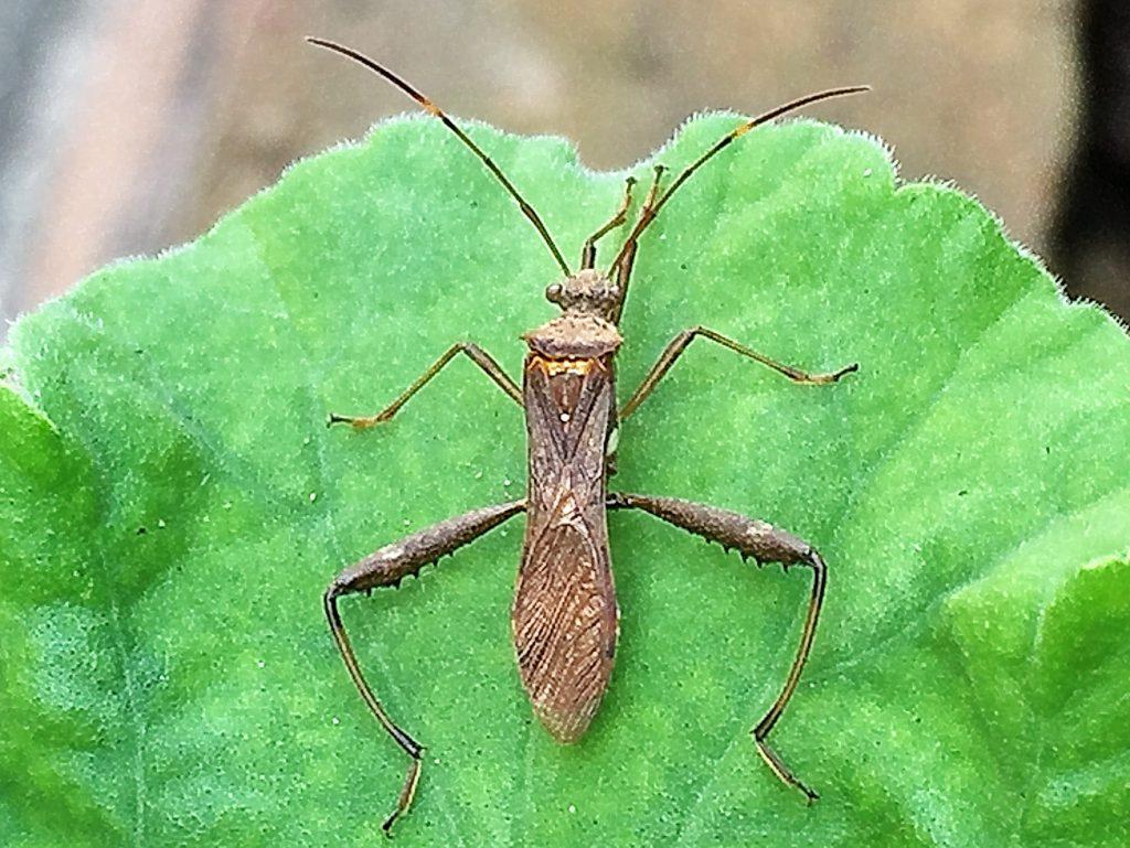 ホソヘリカメムシ、成虫の腹には黄色と黒の縞模様があり翅を広げると現れます