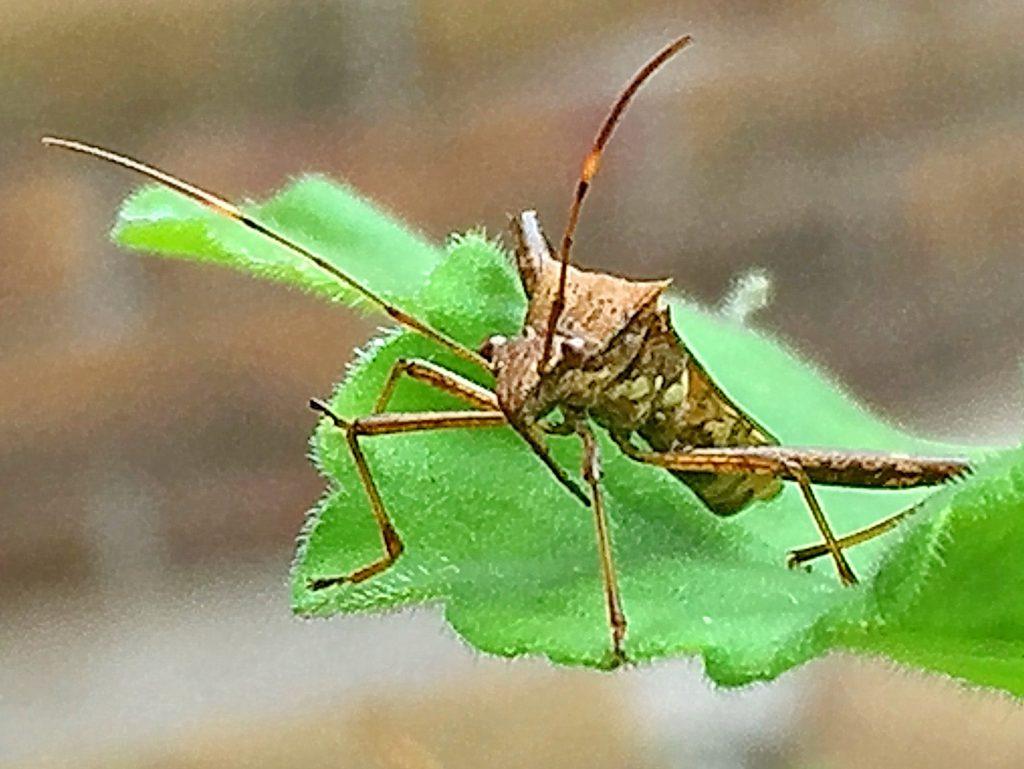 口針を葉に突き立ているホソヘリカメムシ