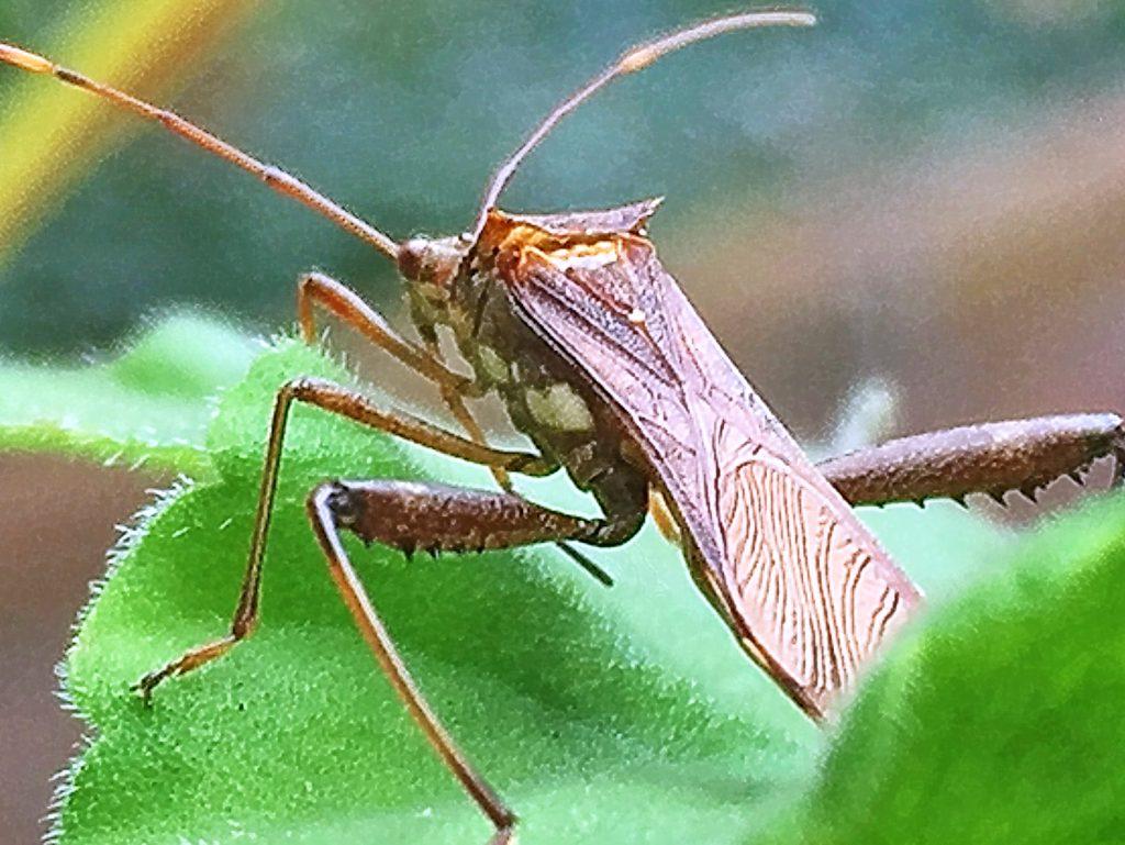ホソヘリカメムシの越冬は成虫のまま落ち葉の下などで