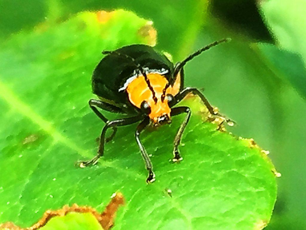 クロウリハムシ(黒瓜金花虫)、黄色い頭に眼、口、触角が黒