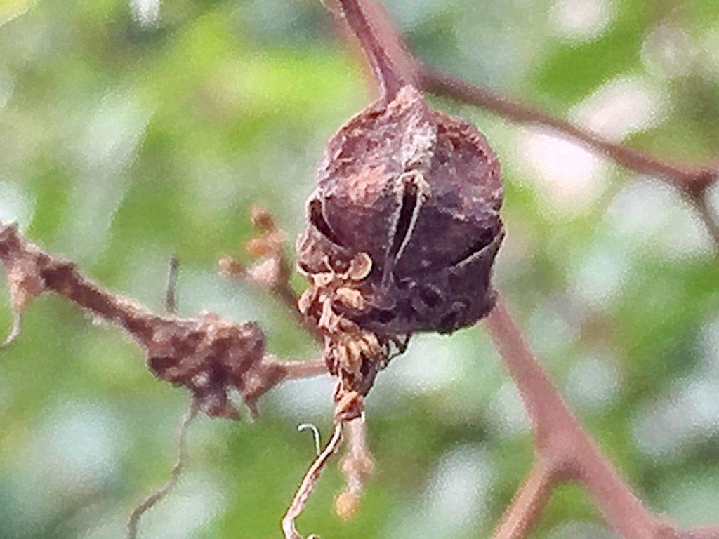 サルスベリjの蒴果、熟すとはじけ翼がある種は風に乗り飛んでいきます