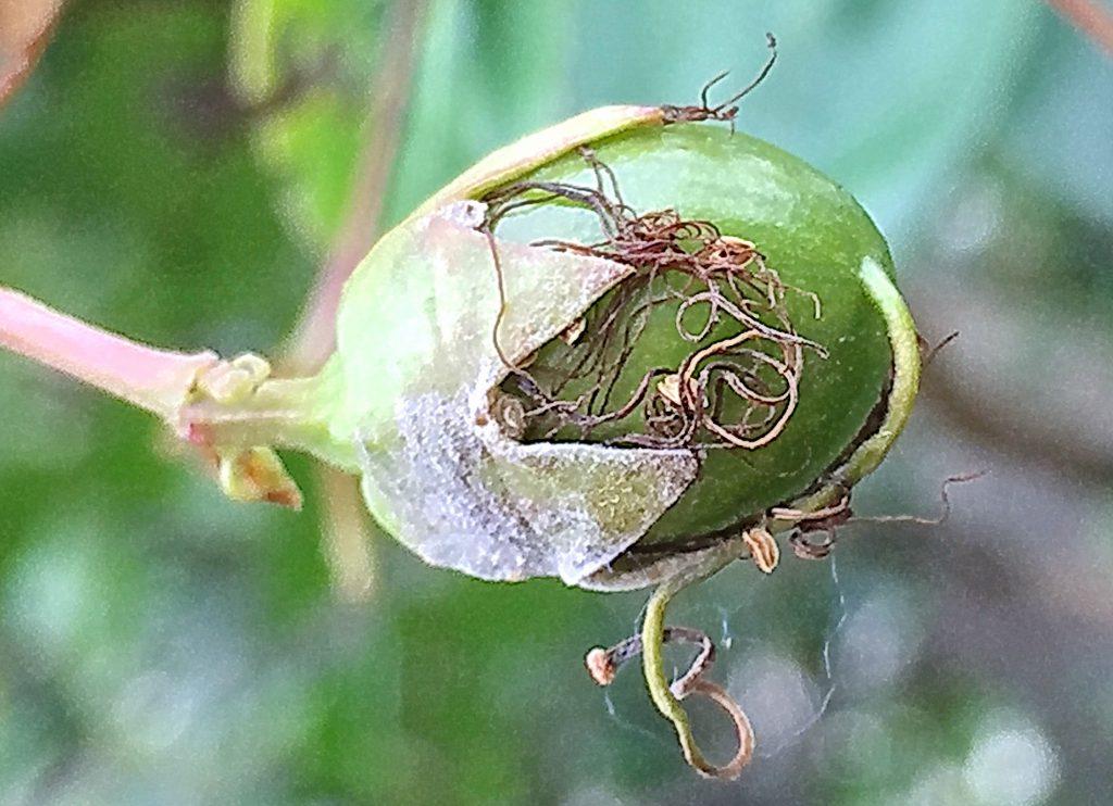 サルスベリの球形から楕円形の若い果実