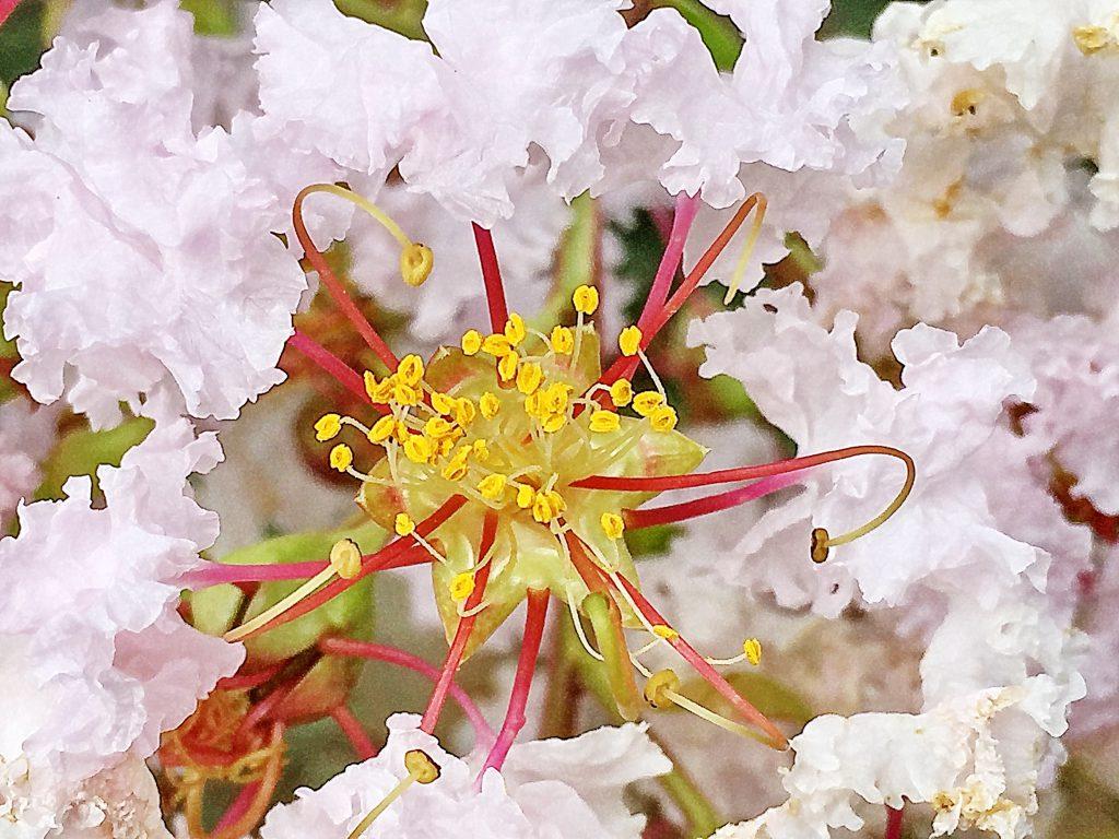 波打った華やかな花弁と沢山の雄しべが華やかなサルスベリの花