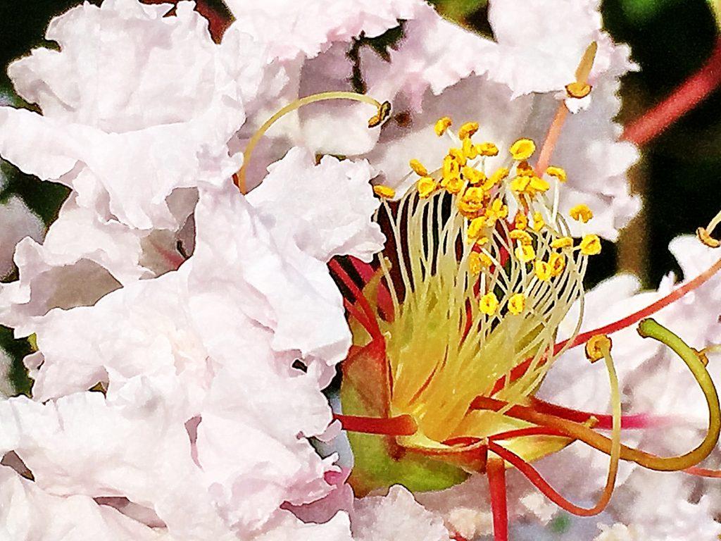 サルスベリの昆虫を呼び込む為の目立つ雄しべと。授粉用の長く伸びた下向きの6本の雄しべ